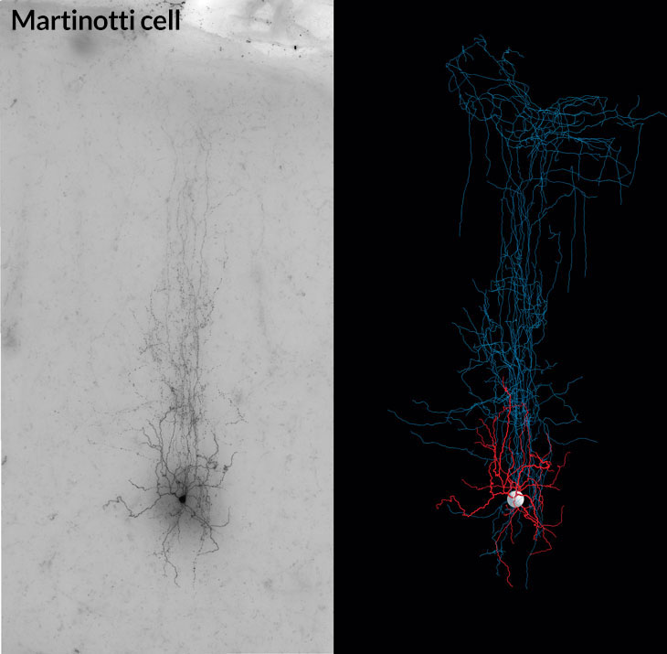 Martinotti cell